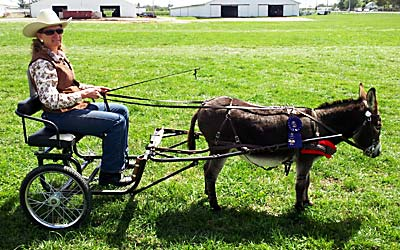 Apollo 2012 1st place Pleasure Donkey Driving Class at the Allen County Fair 2012